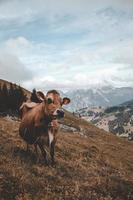 mucca marrone in piedi sulla cima di una collina