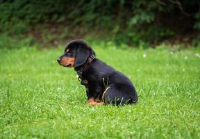 cucciolo rottweiler nero e marrone