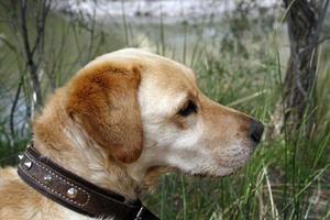 cane labrador dorato foto
