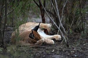 gatto selvatico sudafricano foto