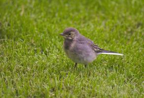 primo piano di un uccello in piedi nell'erba foto