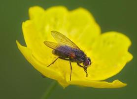 primo piano di una mosca su un fiore giallo