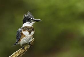 primo piano di un uccello del martin pescatore