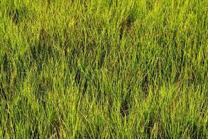 sfondo di erba palude foto