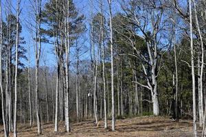 barone alberi nella foresta