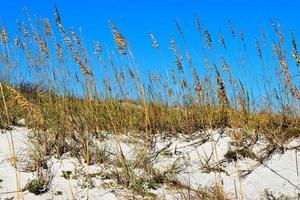 avena di mare sulla duna di sabbia foto