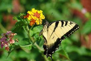 farfalla a coda di rondine di tigre