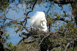 grande airone bianco sul suo nido