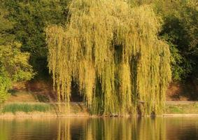 salice e altri alberi