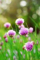 fiori di erba cipollina foto