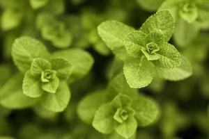 pianta di menta piperita foto