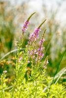lythrum salicaria foto