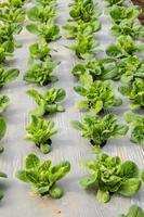 verdura biologica foto
