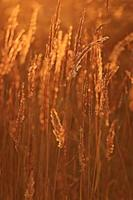sfondo del campo di erba bagliore tramonto estivo