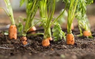 carote foto