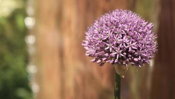 fioritura di allium foto