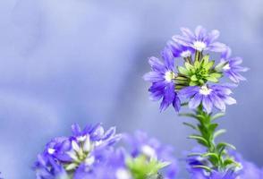 verbena, dove lo smalto, i fiori di campo, i fiori sono sani foto