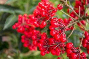 ciliegia rossa