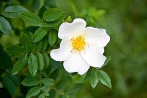 rosa canina bianca rosa canina fiore foto