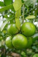 limone verde sull'albero