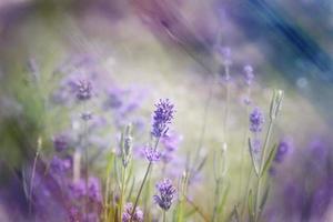 arte digitale, effetto vernice, fiori di lavanda in una giornata estiva foto
