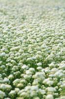 fiore di porro bianco