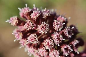macro di fiori di butterbur foto