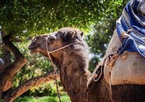 cammello foto