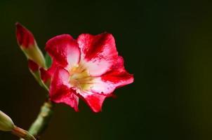 primo piano del fiore della rosa del deserto foto