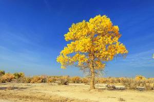 Mongolia interna, Cina populus euphratica foto