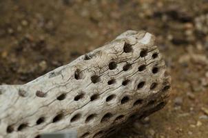 scheletro di cactus cholla del deserto foto