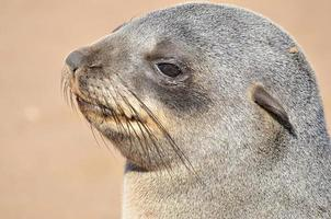 cucciolo di foca di pelliccia del capo