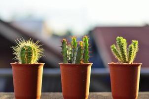 tre cactus foto