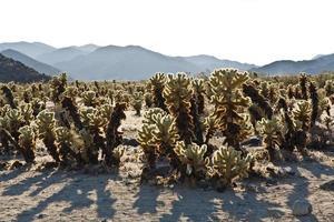 bellissimo giardino di cactus cholla nel parco nazionale di joshua treer a foto
