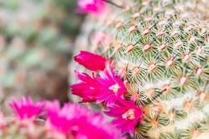 Close up di cactus a forma di globo foto