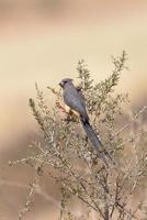 mousebird dal dorso bianco arroccato nel cespuglio
