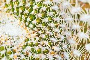 sulcorebutia arenacea, cactaceae, bolivia foto