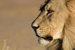 estremo primo piano colpo di testa di un leone del Kalahari.