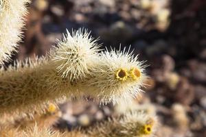 dettaglio cholla cactus foto
