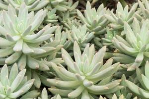 mini cactus foto
