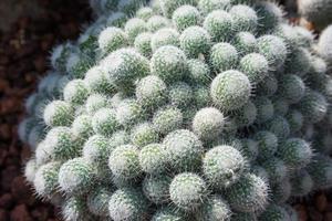 cactus cespuglio bianco spike