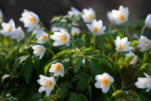 foresta di anemoni foto