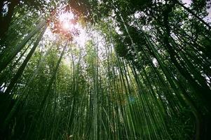 foresta di bambù di kyoto foto