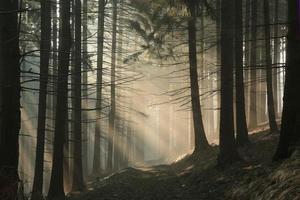 bosco di conifere all'alba