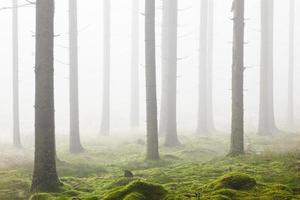 foresta con nebbia mattutina foto