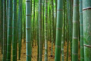 foresta di bambu
