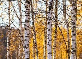 bosco di betulle paesaggio autunnale russo foto