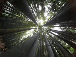 alzando lo sguardo in una foresta di bambù foto