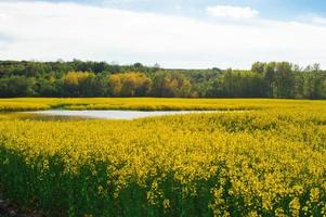 campo di colza con acqua e foresta
