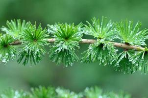gocce di pioggia su foglie di aghi nella foresta